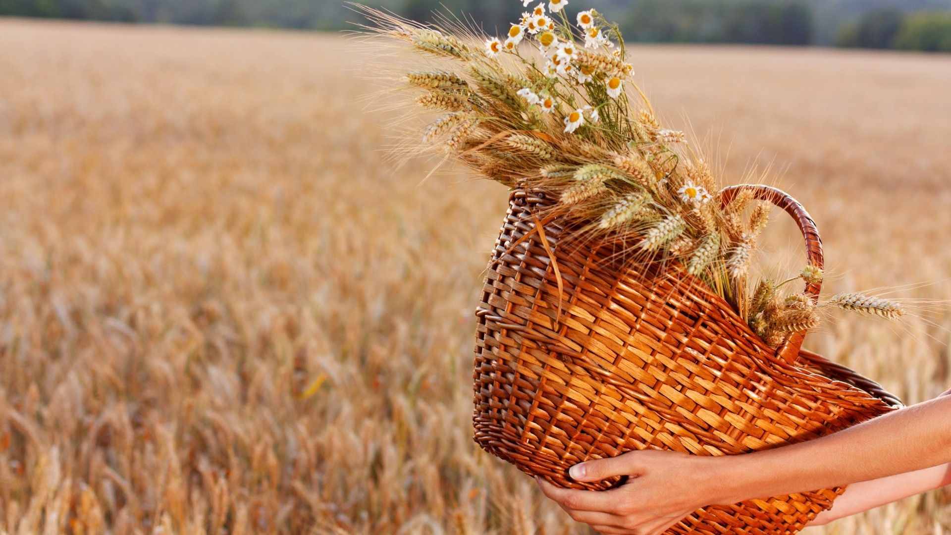 food-hands-flowers-field-baskets-straw-wheat-rye-cereal-barley-autumn-harvest-plant-agriculture-prairie-crop-produce-land-plant-flowering-plant-grass-family-food-grain-commodity-maize-177123.jpg